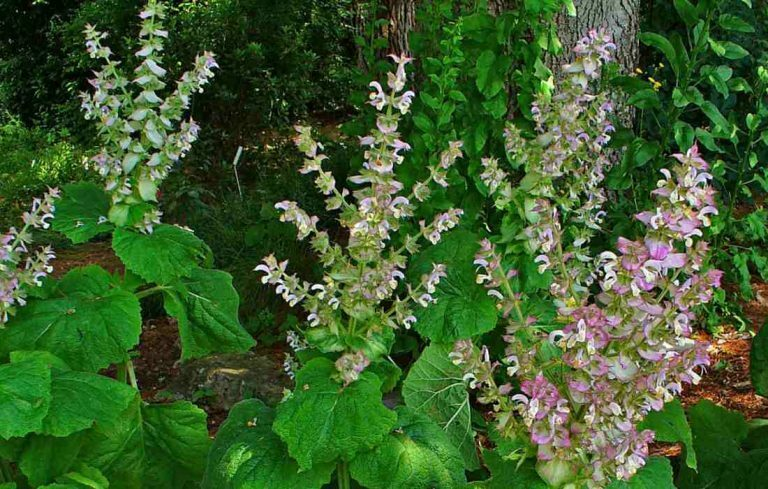 How to Balance Your Hormones Naturally with Clary Sage