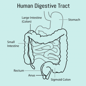 Your digestive tract is like a long, squiggly tube, sometimes wide, other times narrow. This tube is a mucous membrane, like your skin, but contained within your body.