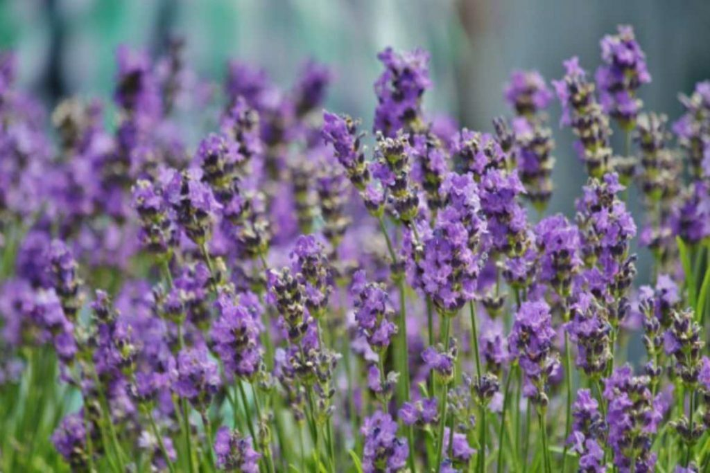 How to use lavender essential oil as an all-in-one first aid kit.