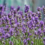 How to Use Lavender Essential Oil as an All-in-One First Aid Kit